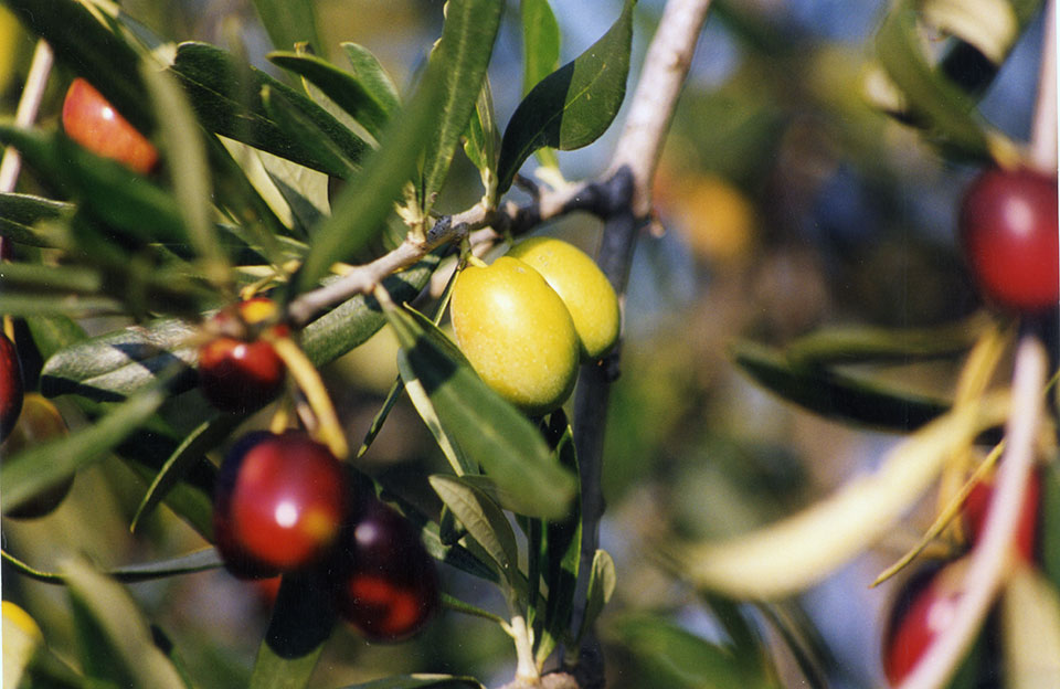 Olive Cultivar Coratina